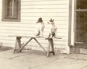 Two JACK RUSSELL TERRIER Dogs Sitting On a Bench On the Porch Photo circa 1920