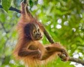 Animal Photo, BABY ORANGU...