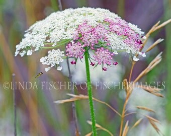 Queen Anns Lace Flower Bee Nature Spring Wall Art Home Decor Digital Download Photo Print Fine Art Photography Linda Fischer  Fischerimages