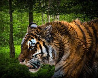 Tiger on the Prowl No.9740 A Fine Art Big Game Cat Wildlife Photograph