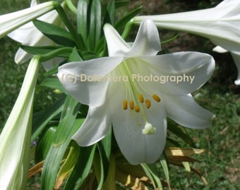Nature Photograph, Easter Lily, Fine Art Photography, 5x7 or 8x10 Color Print, Close Up, Floral Wall Decor, Botanical Gift, Christmas