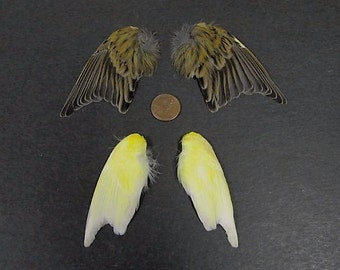 2 Pairs of Yellow & Brown Striped Canary Wings  Dried Birds Wings Feathers Art Craft Taxidermy