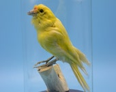 taxidermy of yellow birds mounted with glass dome and base.