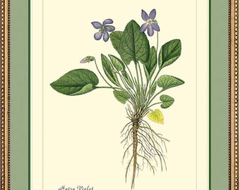 HAIRY VIOLET - Botanical print reproduction 225