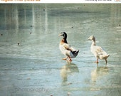 65% OFF Winter Scene Mallard Ducks Pond Decor - On Frozen Pond - Ice Blue Frozen Water Ducky Print  - 8x10 Fine Art Photography