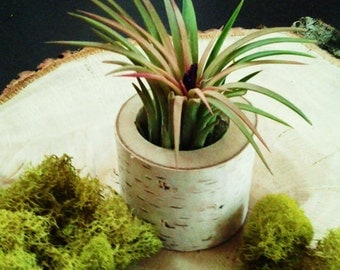 TREASURY ITEM - Air plant terrarium - Birch Tree log -  Tillandsia-  Wedding favors - Terrariums -  Birch tree terrarium - Holiday gift
