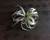 FREE SHIPPING Large Air Plant Harrisii 6-8 inch diameter