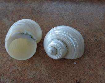 Pearlized Silver Mouth Turbo Shells