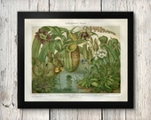 Botanical Carniverous Plants Venus Fly Trap Pitcher Plant Oversized Antique Repro Print 8x10 to 30x40 Late 1800s Repro