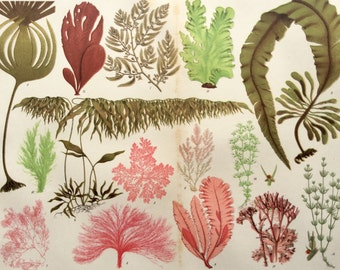 Vintage 1920s SEA WEED Chromolithograph Bookplate SEALIFE Algae Print