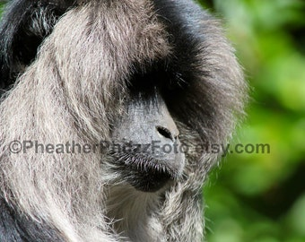 Lion Tailed Macaque Wildlife Photography Fine Art Nature Print, Primate Monkey Animal Photo, Home Decor, Wall Art