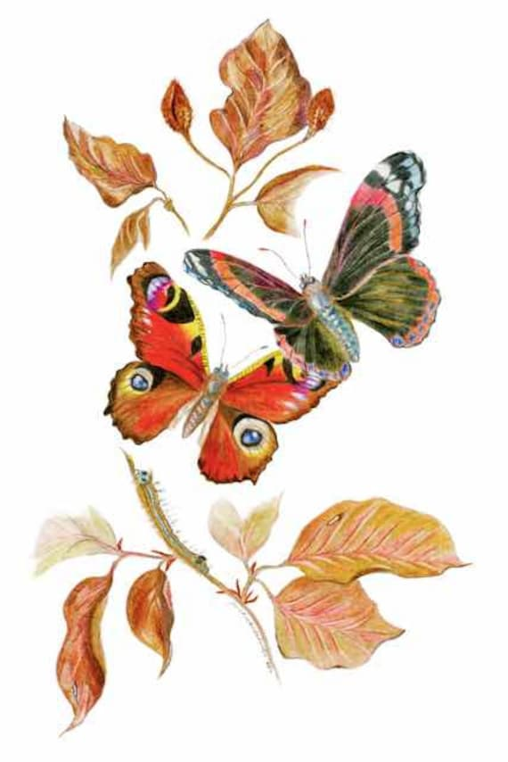 LIMITED EDITION Atalanta and Peacock Butterflies, and a Caterpillar Fine Art Print, Elegance Print, Butterfly Harmony, Equisite Art Print,