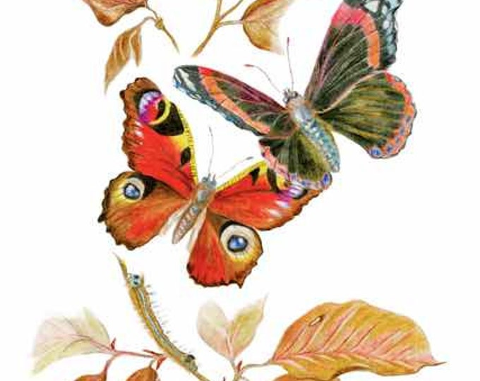 LIMITED EDITION Atalanta & Peacock Butterflies plus a Caterpillar, Fine Art Print, Elegance Pur Sang, Butterfly Harmony, Exquisite Art Print