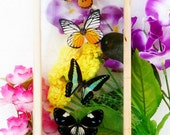 6 REAL mixed BUTTERFLIES Taxidermy Double Glass in Frame /BFD06P