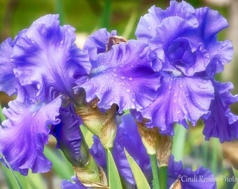 Bearded Irises, Photography,  Floral Photography, Nature Photography, Garden, Flower Photography