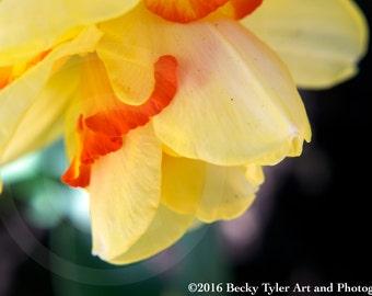 Daffodil Flower Macro Fine Art  Photo Print