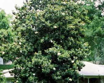 Sweetbay Magnolia Tree Seeds, Magnolia virginiana - 25 Seeds