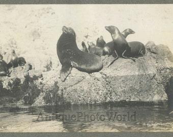 Seals on rocks Santa Catalina Island antique photo by Iron Monger California