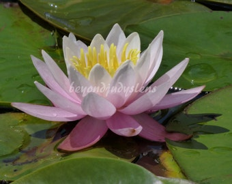 Pink Water Lily photo digital download