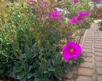 Succulent with Magenta Flowers, Eco Friendly Landscaping, Blooming Succulent Evergreen, Xeriscape Garden, Calandrinia Grandiflora Succulent