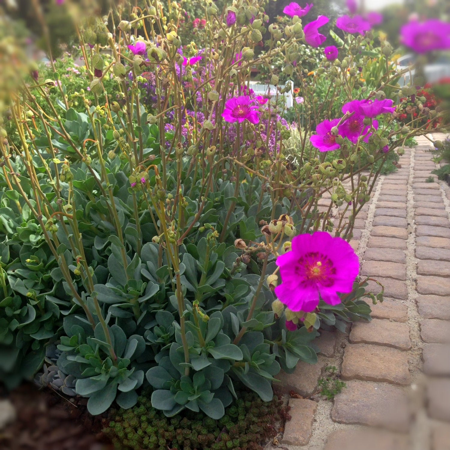 Succulent with Magenta Flowers Eco Friendly Landscaping Blooming Succulent