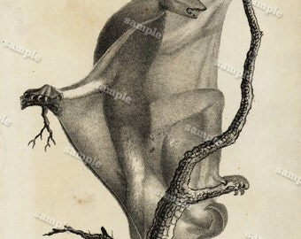1830 Original Antique Engraving of Animal  -Bats- Black and white