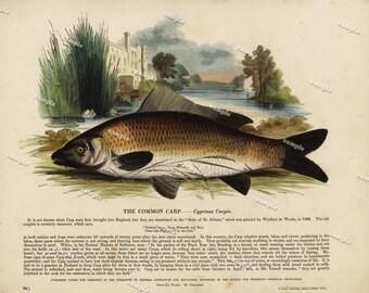 1850 Original Antique  Hand color print of The Common Carp- Nature print- Natural history-  fish  print - Chromolithograph