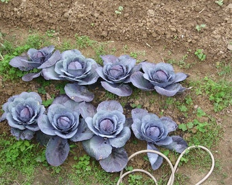 Mammoth Red Rock Cabbage,  red cabbage heirloom gardening seeds