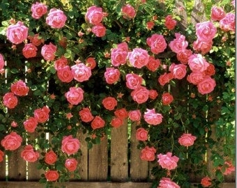 Climbing water pink roses,384, Red rose,roses seeds,planting roses,growing roses from seeds