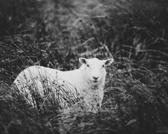 CURIOUS photography print,  Scottish Sheep in Heather, 8x12