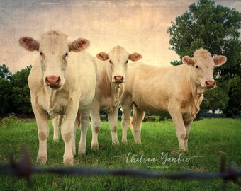Curious Cows-  Fine Art Print