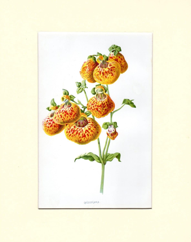 Custom Matted Calceolaria Vintage Botanical Print Familiar