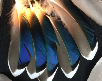 A Set of 10 Beautiful Blue Mallard Duck feathers for art craft projects