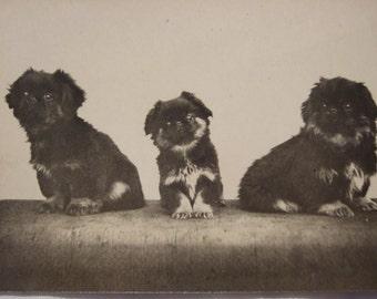 Antique Edwardian RP photo POSTCARD  - c1915 PUPPIES Japanese Dogs?