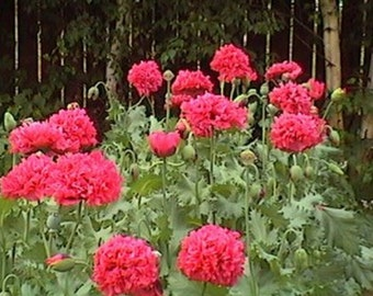 Peony Poppy- Red - 100 Seeds each pack