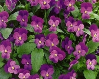 Viola- Admiration- 50 seeds each pack