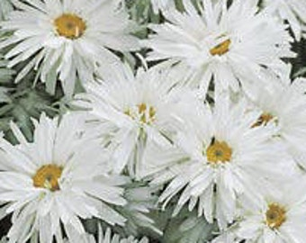 Shasta Crazy Daisy * Twisted & Frilled!! 50 Seeds