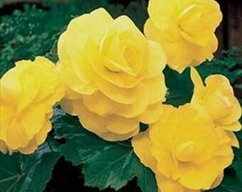 Begonia Tuberosa Double Yellow * 25 Seeds