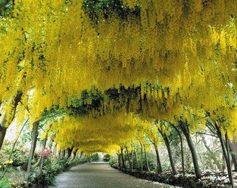 10 Seeds Laburnum anagyroides Seeds,  common laburnum, golden chain , golden rain, Cytisus laburnum