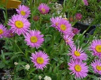 20 Seeds Aster alpinus, Aster alpinus Seeds