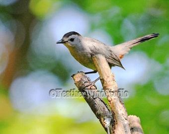 Gray Catbird Nature Photography   Dumetella Bird Photo   Perched Grey Songbird   Wildlife Home Decor   FeatherWindStudio   Thrush Bird Print