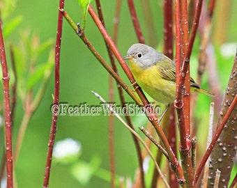 Nashville Warbler Photo | Michigan Bird Photography | Gray Yellow Bird Wall Art | Bird Watcher Nature Gift Idea | Warbler Bird Print