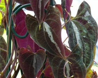 Dioscorea discolor Variegated Monkey Ball vine pint plant FREE SHIP