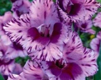 10 Gladiolus Passos bulbs