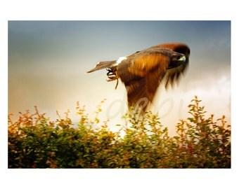 Harris Hawk in Flight with white border, High quality Fine Art digital  download jpg