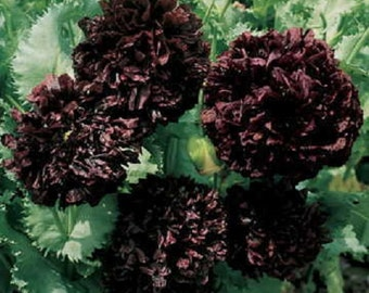 Black Peony Poppy Flower Seeds / Papaver / Annual 100+