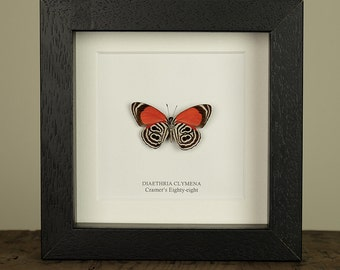 Cramer's Eighty-Eight Butterfly in Box Frame (Diaethria Neglecta)