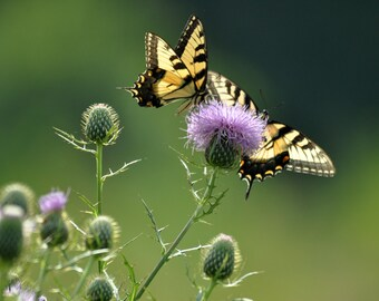 Butterflies and Thistles