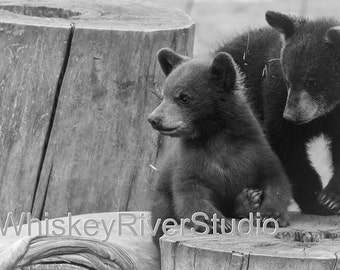 Baby Bears in the Black Hills print. Canvas photo print. Canvas Photography. Wall Art. 8x10, 11x14, 16x20, 20x24.