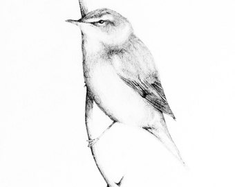Instant digital download of the original drawing entitled 'Sedge Warbler' by Thomas Harrison.